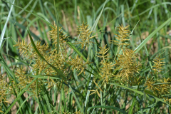 Cyperus_esculentus_bluehend_Howard_F._Schwartz_Colorado_State_University_Bugwood.org_5498744cx-x