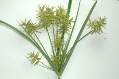 Cyperus_esculentus_bluehend_Joseph_LaForest_University_of_Georgia_Bugwood.org_5342080cx-x